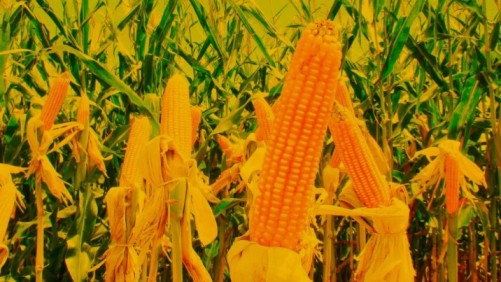 Brazil's corn-based ethanol production expected to reach 8Bl